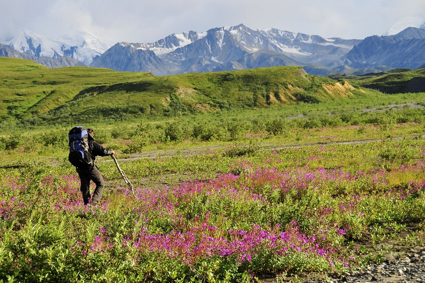 """Als u besluit te gaan wandelen of hiken in Denali is het wel noodzakelijk dat u weet hoe u zich dient te gedragen, want Denali is """"grizzlybear country""""."""
