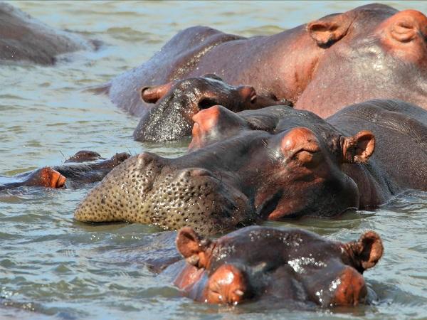 stlucia-nijlpaard