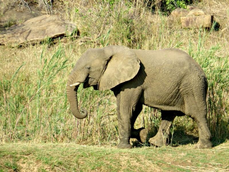 addo-olifant