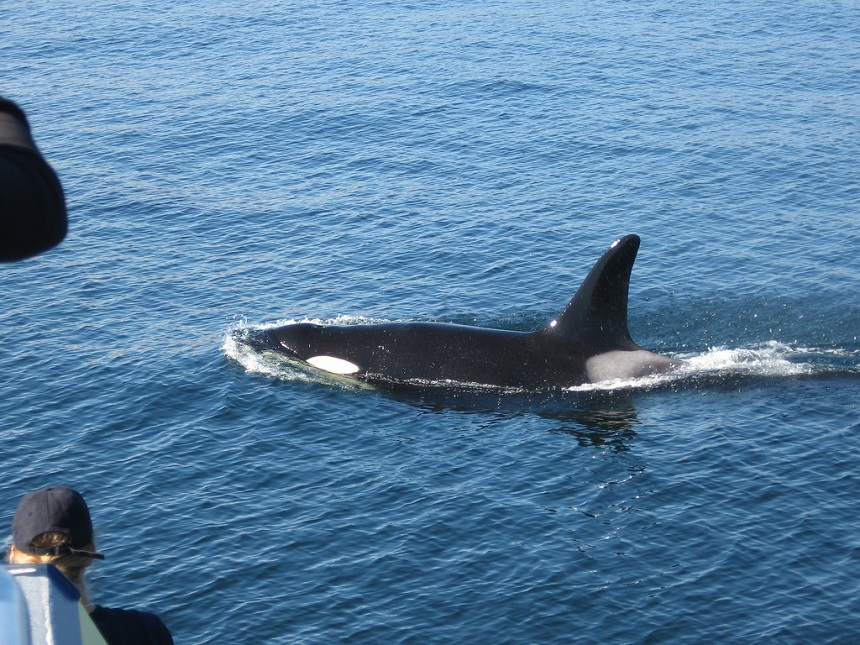 Orka spotten in Canada