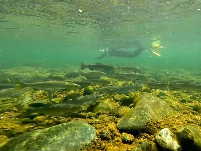 Snorkelen met zalmen