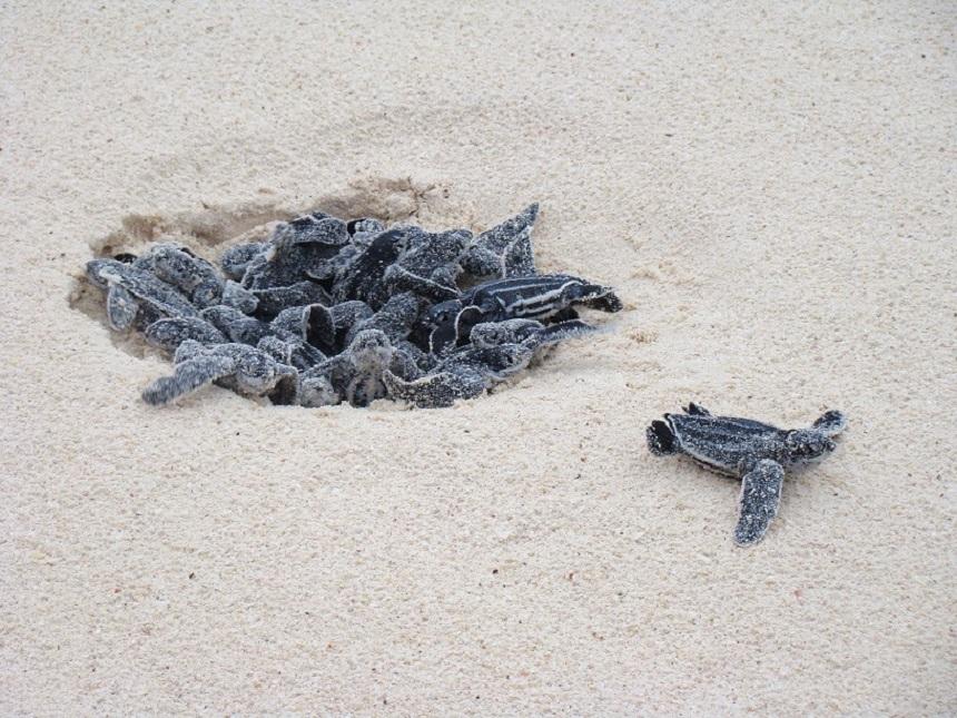 Lederschildpad in Costa Rica