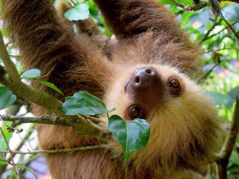 Luiaards Costa Rica