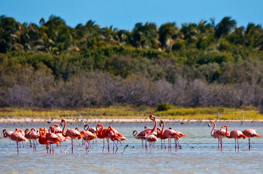 flamingo Centraal-Amerika