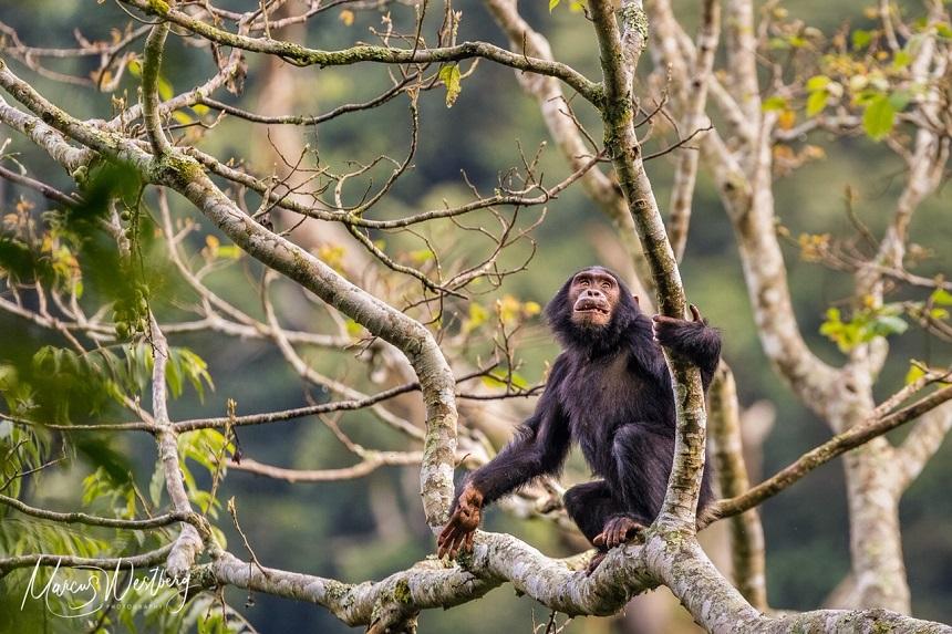 Nyungwe Chimpansee